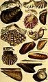 A conchological manual (1842) (20056425154).jpg
