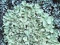 A lichen - Flavoparmelia caperata - geograph.org.uk - 1155285.jpg