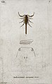 A scorpion (Androctonus variegatus) with anatomical sections Wellcome V0022431.jpg