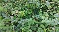 Abeliophyllum distichum 1.jpg