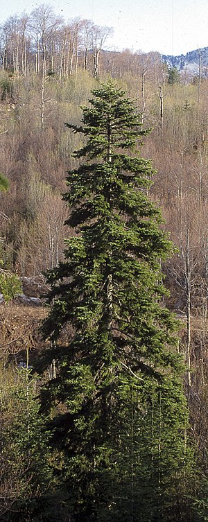 Forests of the Iberian Peninsula - Silver fir