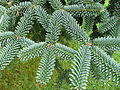 Abies pinsapo 04 by Line1.jpg