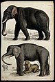 Above, an Indian elephant; below, an African elephant cow su Wellcome V0020918ER.jpg