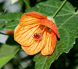 meaning of abutilon