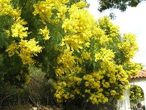 Acacia decurrens - Image: Acacia decurrens catalina