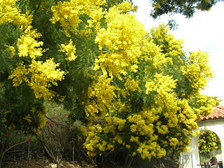 <i>Acacia decurrens</i> species of plant