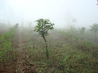 Acacia mangium - Image: Acacia Mangium Jung