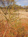 Acacia ancistrocarpa foliage.jpg