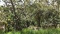 Acacia koa study 3.jpg