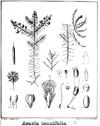 Acacia tenuifolia4.PNG
