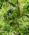 Acer buergerianum in Eastwoodhill Arboretum (5).jpg