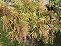 Acer palmatum.JPG