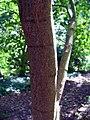 Acer palmatum amoemum 4zz.jpg