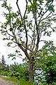 Acer spicatum 1 (14812229830).jpg