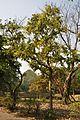 Acharya Jagadish Chandra Bose Indian Botanic Garden - Howrah 2011-01-08 9877.JPG