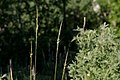 Achnatherum nelsonii - Flickr - aspidoscelis.jpg