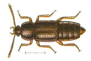 Anthophagini Tribe of beetles