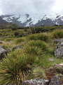 Aciphylla sp Mount Cook 1.JPG