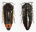Acmaeodera flavomarginata (38206190154).jpg
