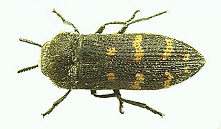 <i>Acmaeoderella</i> genus of insects