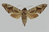 Acosmeryx naga hissarica, male, upperside. Tajikistan, Gissar, Vorzob Valley.jpg
