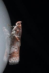 Acrobasis advenella01, Lodz(Poland)(js).jpg
