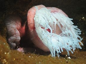 Description de l'image Actinia equina by Line1.jpg.