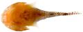 Acyrtus artius - pone.0010676.g161.png