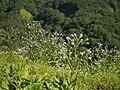 Adelocaryum lambertianum (C.B.Clarke) R.R.Mill (21241664964).jpg