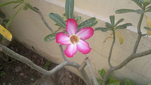 Adenium obesum - Adenium obesum flower, Gurgaon,India