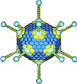 Adenovirus weis.jpg