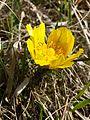 Adonis vernalis sl25.jpg