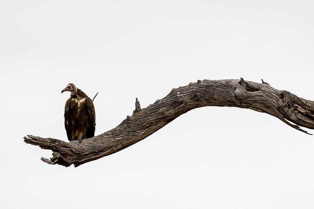 African Hooded Vulture (Necrosyrtes monachus), Kruger National Park