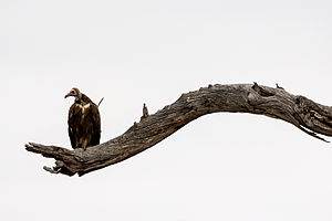 Vulture - African hooded vulture (Necrosyrtes monachus), Kruger National Park