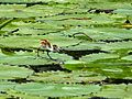 African Jacana Chick (Actophilornis africana) (6035992598).jpg
