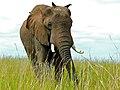 African Savannah Elephant (Loxodonta africana) (6861465797).jpg