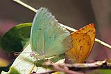 African emigrant (Catopsilia florella) mating migrant male (l) dry season female (r).jpg