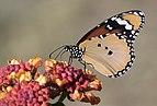 African monarch - Sultan 01-2.jpg