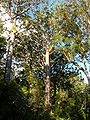 Agathis australis Waipoua Forest 1.jpg