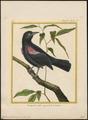 Agelaius phoeniceus - 1700-1880 - Print - Iconographia Zoologica - Special Collections University of Amsterdam - UBA01 IZ15800245.tif
