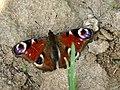 Aglais io - European peacock - Павлиний глаз дневной (27277979078).jpg