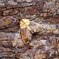 Agrotera nemoralis (36119179654).jpg