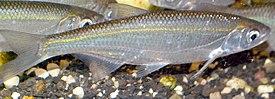 AlburnusAlburnus1.JPG