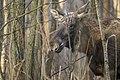Alces alces 13(js), Biebrza National Park (Poland).jpg