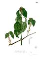Alchornea sicca Blanco2.307.png