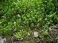 Aletris pauciflora (7845443780).jpg