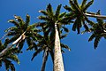 Allée du Manoir, palmiers royals.jpg