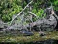 Alligator at Silver Springs - panoramio (1).jpg