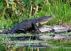 Un alligator américain, en Floride