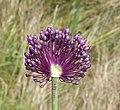 Allium scorodoprasum inflorescence (15).jpg